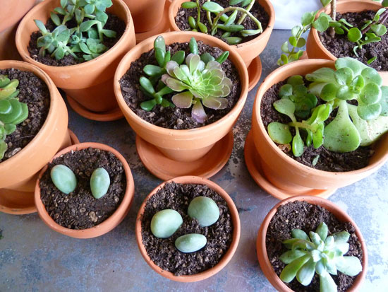 Succulents_2