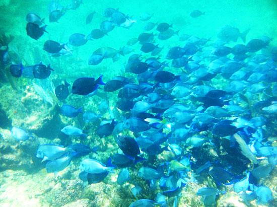 Blue_fish_school