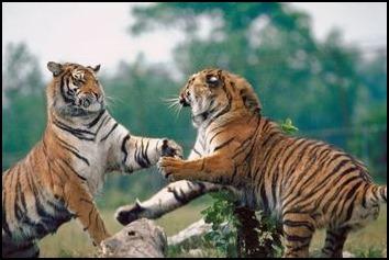 Tigers01