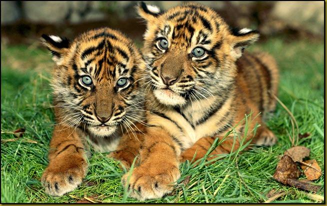 TigerTiger2