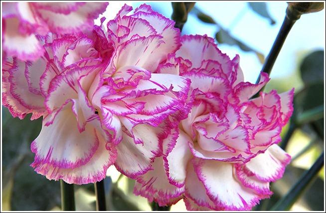 CarnationsPinkWhite01