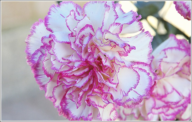 CarnationsPinkWhite02